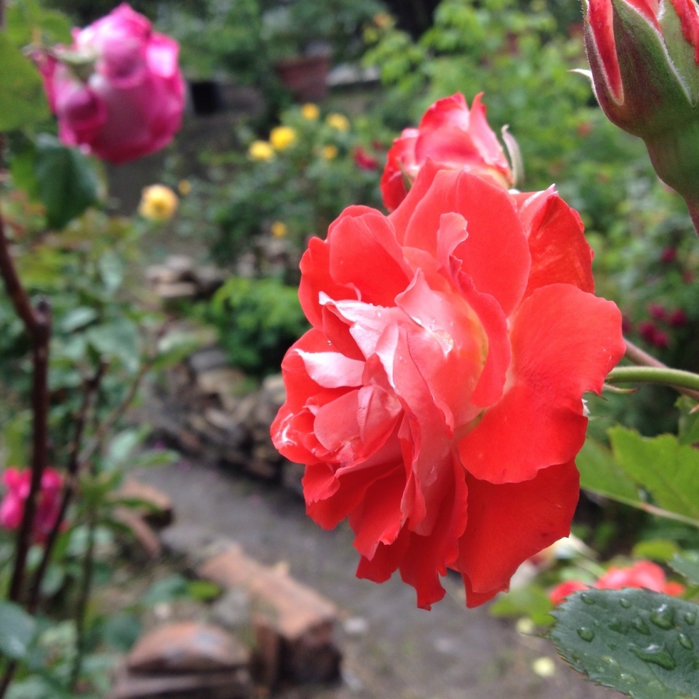 Neighbors rally to save roses from planned high rise development
