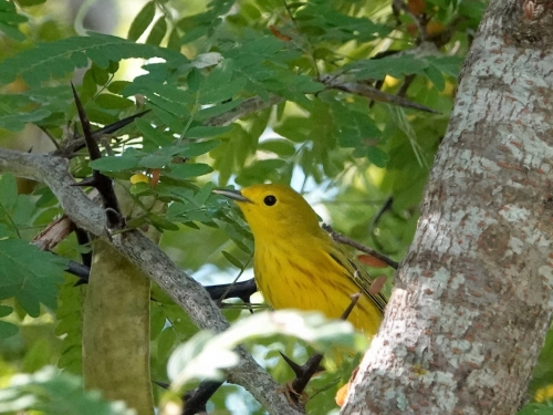 This male Yellow Warbler was spotted in late August 2019 in Victoria, Texas on its way back to the tropics. Yellow Warblers are migratory birds found across most of North America, including Utah, spring through fall. They spend our winters in Central America and northern South America.||||