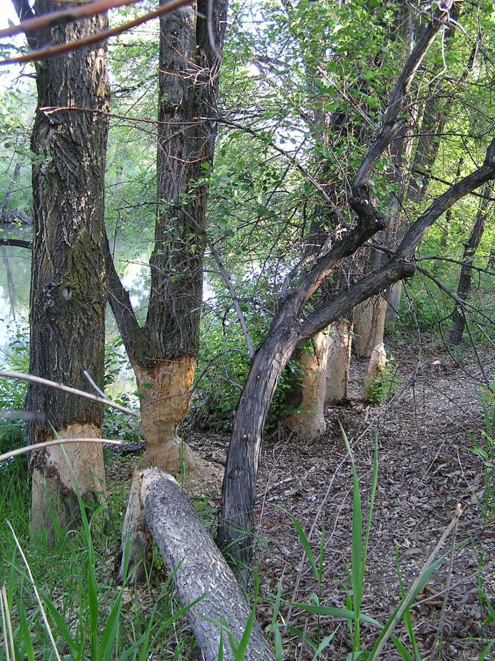 Beavers of the Jordan River
